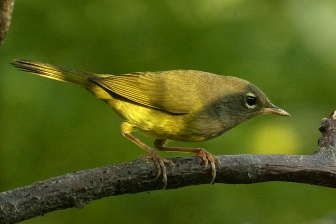 MacGillivray's Warbler, added to yard list in September 2009 (species No. 311). Photo by Jim Stevenson