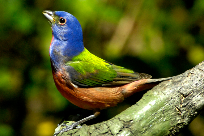 Painted Bunting, added to yard list in April 1997. Breeds on the property. Photo by Jim Stevenson