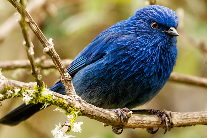 Tit-like Dacnis lives in high-altitude woodlands in southern Ecuador and Peru. Photo by Paul S. Wolf/Shutterstock.