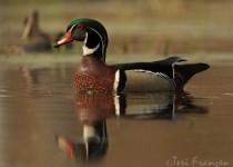 Wood_Duck1