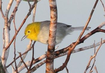 Yellow-headed Warbler, November 13, 2006, by Dominic Sherony, via Wikimedia Commons.