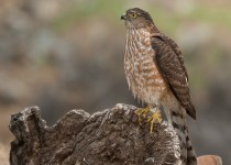 sharp-shinned-hawk_MG_0162
