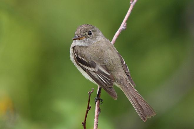 Alder Flycatcher. Photo by Simon Pierre Barrette/Wikimedia Commons (Creative Commons)