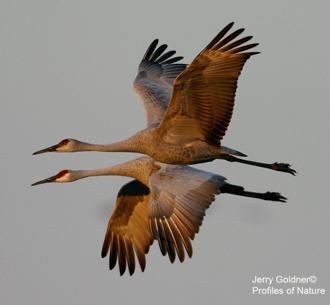 Sandhill Cranes by Jerry Goldner