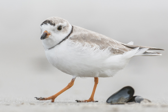 PipingPlover-660