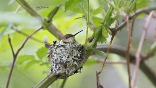 Rufous-on-her-nest