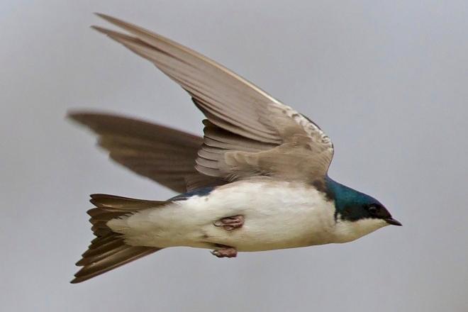 TreeSwallow-660