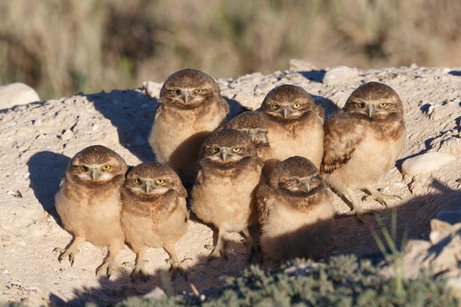 Vyn-burrowing-owls-660
