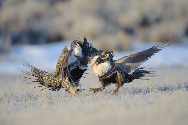 Vyn-fighting-grouse-660