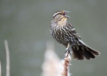 female-Redwinged-Blackbird